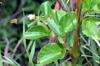 Feuilles : Begonia cucullata Willd.