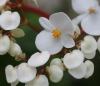 Bégonia blanc