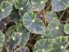 Begonia rex Putz.