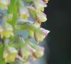 Benthamia latifolia (Thouars) A. Rich
