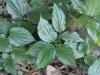 Piper sarmentosum Roxb. Bétel marron.