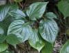 Bétel marron. Piper sarmentosum Roxb.