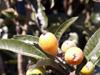 Eriobotrya japonica (Thunb.) Lindl