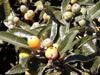 Eriobotrya japonica, Bibassier, Néflier du Japon