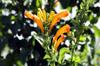Fleurs Tecoma capensis. Bignone du Cap