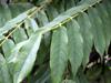 Feuilles de Bilimbi ou arbre à cornichons. Averrhoa bilimbi
