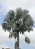Bismarckia nobilis. Palmier de Bismarck.