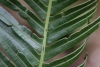 Blechnum attenuatum (Sw.) Mett.