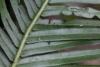 Blechnum attenuatum (Sw.) Mett