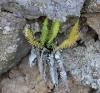 Blechnum australe L.