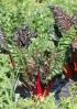 Beta vulgaris L. subsp. vulgaris