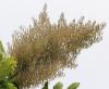 Bocconia frutescens L