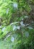 Boehmeria macrophylla Hornem.