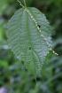 Boehmeria macrophylla Hornem Bœhmère à grandes feuilles