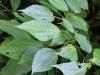Boehmeria macrophylla Hornem