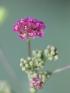 Boerhavia diffusa L.