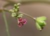 Boerhavia diffusa L