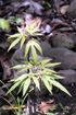 Hernandia mascarenensis. Bois blanc
