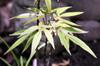 Feuilles juvéniles : Hernandia mascarenensis. Bois blanc