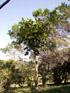 Bois d'éponge.  Arbre endémique de La Réunion, Polyscias cutispongia