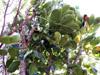 Polyscias cutispongia, Bois d'éponge.  Arbre endémique de La Réunion : feuilles