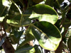 Polyscias cutispongia (Lam.) Baker. Arbre endémique de La Réunion.