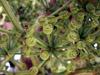 Bois d'éponge fruits. Polyscias cutispongia (Lam.) Baker.