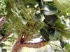 Bois d'éponge fruits et feuilles.