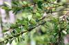 Erythroxylum hypericifolium Lam. Bois d'huile. Arbre Endémique de La Réunion et de Maurice.
