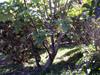 Obetia ficifolia (Poir.) Gaudich, Bois d'ortie Endémique des Mascareignes