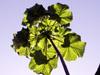 Obetia ficifolia (Poir.) Gaudich