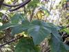Bois d'ortie, Obetia ficifolia (Poir.) Gaudich