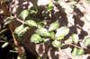 Bois de balai ou Bois de buis - Fernelia buxifolia
