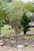 Fernelia buxifolia  Bois de balai ou Bois de buis