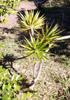 Bois de chandelle ou Chandelle, Dracaena reflexa Lam