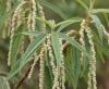 Boehmeria penduliflora Wedd. ex D.G. Long