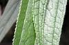 Boehmeria penduliflora, Boehmeria penduliflora, Flore La Réunion