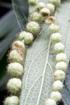 Boehmeria penduliflora, Flore La Réunion