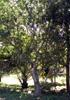 Bois de chenilles. Endémique de La Réunion et de Maurice.