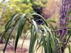 Volkameria heterophylla Vent. Bois de chenille : Feuilles