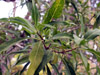 Volkameria heterophylla Vent. Bois de chenilles : Feuilles
