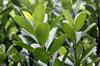 Feuilles : Bois de fer bâtard Sideroxylon borbonicum