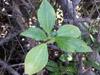 Pouzolzia laevigata Poir, Bois de fièvre