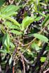 Fleurs et feuilles : Pouzolzia laevigata Poir, Bois de fièvre