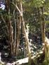 Doratoxylon apetalum, Bois de Gaulette, arbre indigène La Réunion
