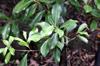 Psiloxylon mauritianum, Bois de gouyave marron