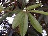 Cossinia pinnata Comm. ex Lam, Bois de Juda feuilles