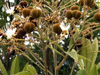 Cossinia pinnata Comm. ex Lam, Bois de Juda fleurs et fruits