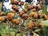 Cossinia pinnata Comm. ex Lam Bois de Judas