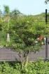 Tabernaemontana persicariifolia Jacq